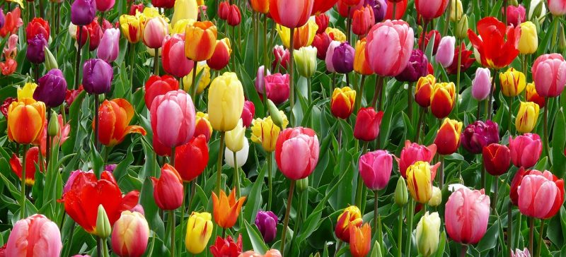 Fall Tulip Bulbs