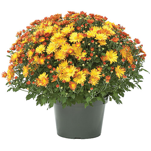 Three Rivers Potted Mums Photo