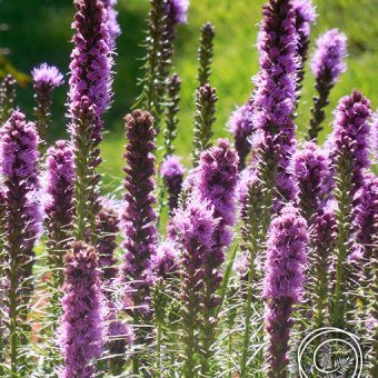 Image of Liatris Blazing Star Flowers