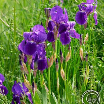 Image of Iris Sibirica Caesar's Brother Siberian Iris Flowers