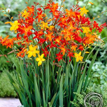 Image of Crocosmia Flowers for Spring Fundraising