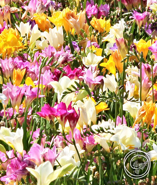 Image of Freesia Flowers for Spring Fundraisers