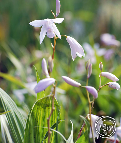 Image of White Hardy Ground Orchid Bletilla Striata Alba Flowers