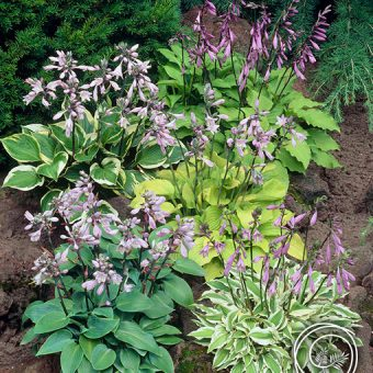 Image of Hosta with Lush Green Foliage and Purple Flowers