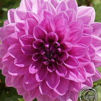 Image of Lavender Perfection Dahlia Flower for Spring Fundraising