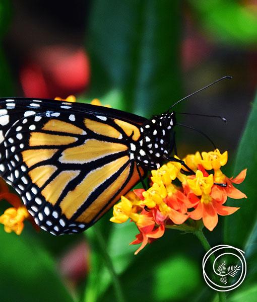 Butterfly Weed summer flowering perennial attracts butterflies