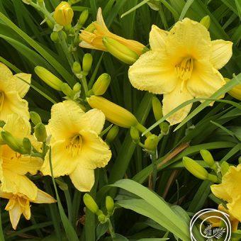 Image of Stella D'Oro Reblooming Daylily Flowers Hemerocallis