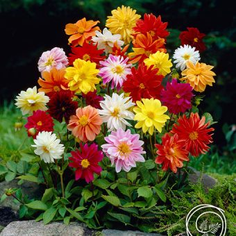 Image of Unwins Mix Dahlia Flowers