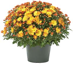 Potted Mums for Fall Fundraising