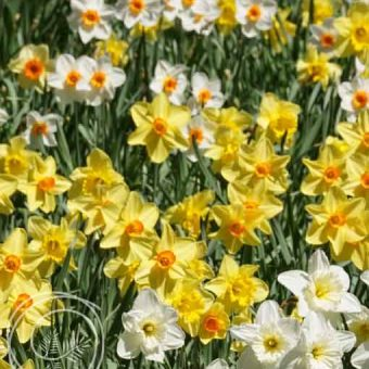 Image of Daffodil Flower Bulb Mix