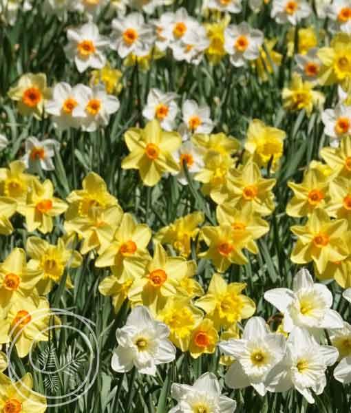 Image of Daffodil Flower Bulb Mix