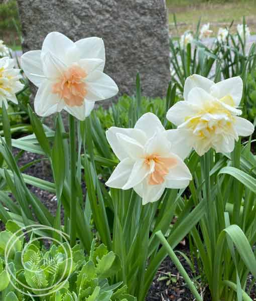 Image of Double Daffodil Duo Flower Bulbs
