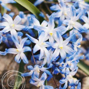 Image of Glory of the Snow Flower Bulbs