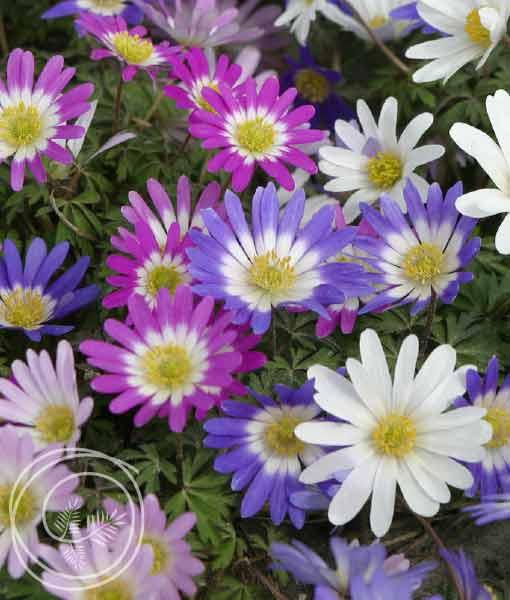 Image of Grecian Windflower Mix Bulbs