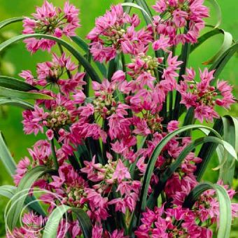 Image of Pink Lily Leek Flower Bulbs