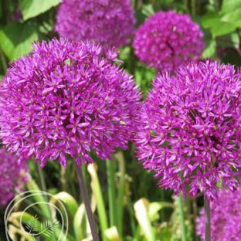Image of Purple Sensation Allium Flower Bulbs