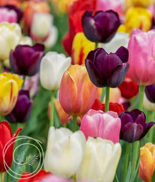 Image of Sixty Days of Tulips Mix Flower Bulbs