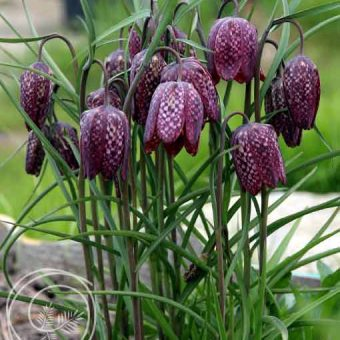 Image of Snakes Head Flower Bulbs