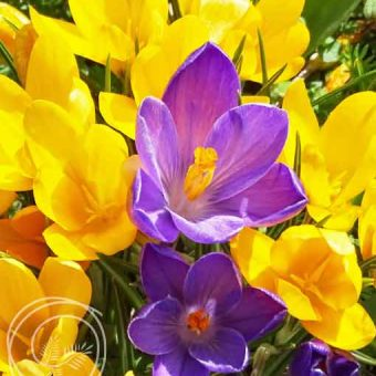 Image of Snow Crocus Mix Flower Bulbs