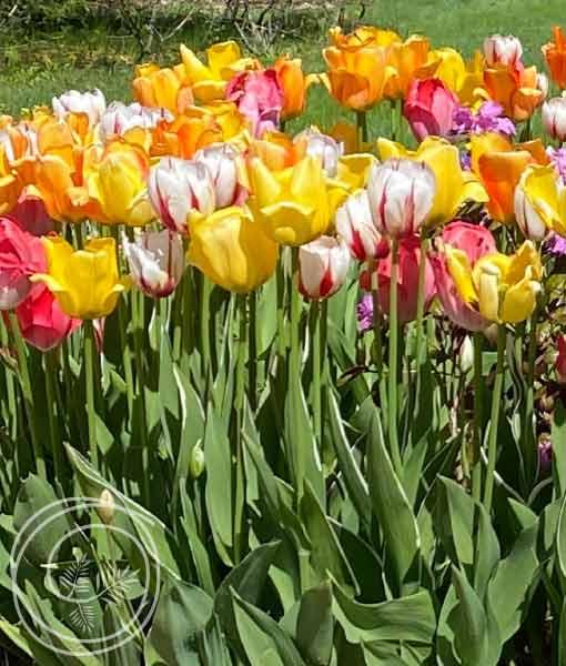 Image of Tulip Mix Flower Bulbs