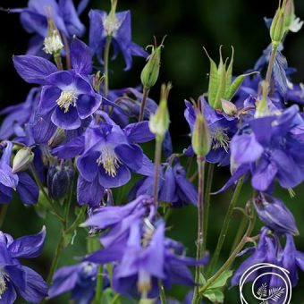 Image of Columbine flower bulbs