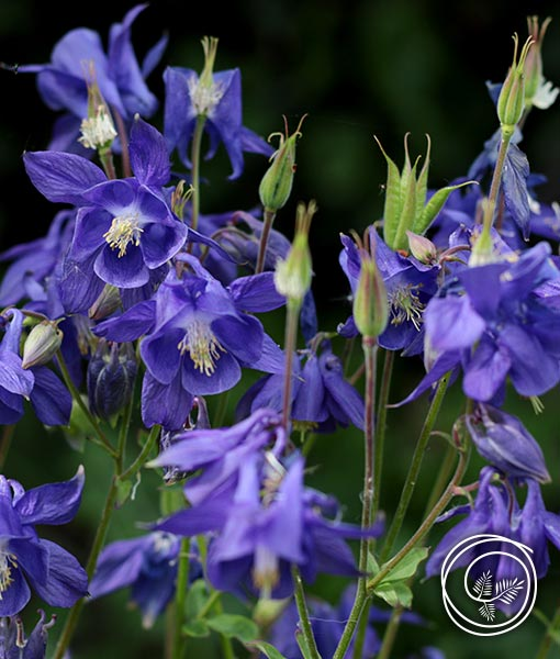 Image of Columbine flower bulbs for spring fundraising