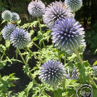Image of Globe Thistle flower bulbs