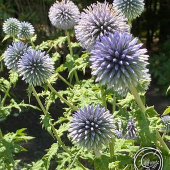 Image of Globe Thistle flower bulbs