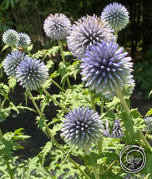 globe thistle flowers can be used fresh or dried