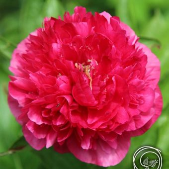 Image of Karl Rosenfield Peony flower bulb