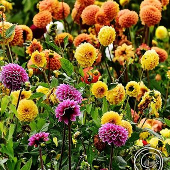 Image of Pompon Dahlia flower bulbs