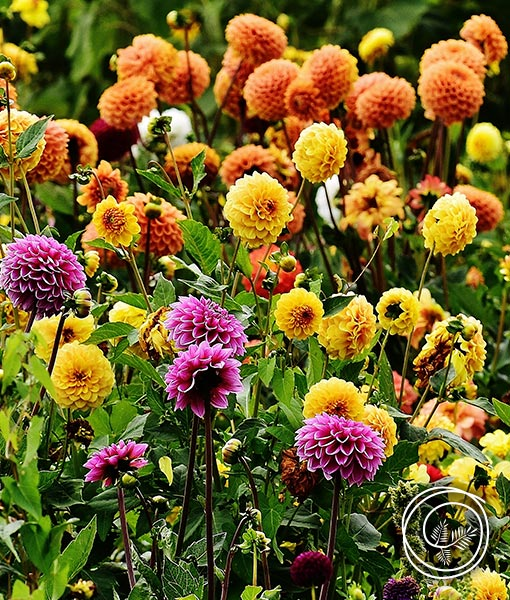 Spring fundraising with Pompon Dahlia flower bulbs