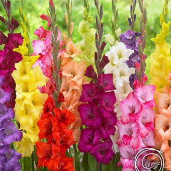 Image of Rainbow Gladiolus flower bulbs mix