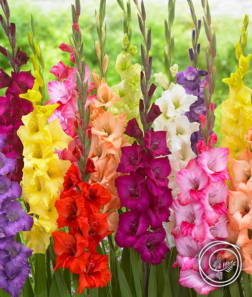 Spring fundraising with Rainbow Gladiolus flower bulbs mix