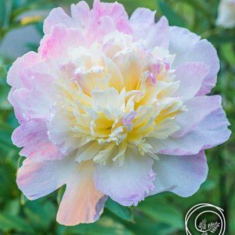 Image of Raspberry Sundae Peony flower bulb