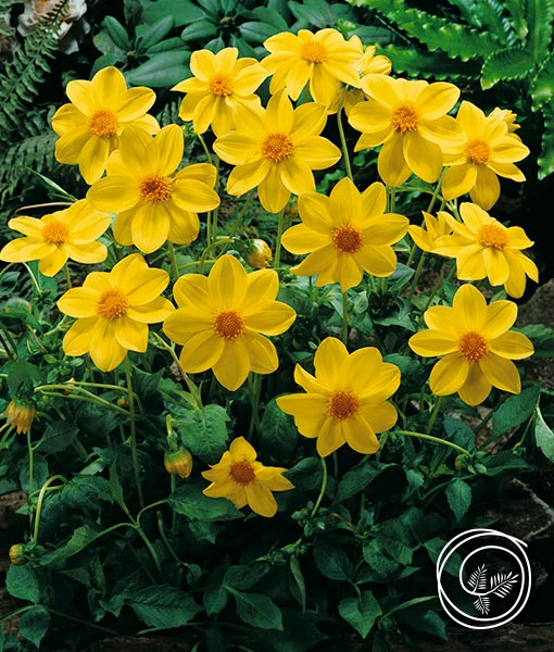 Image of Yellow Mignon Dahlia flower bulbs for fundraising