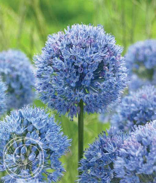 image of allium caeruleum blue allium flower