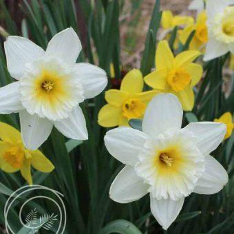 image of daffodil mix flower bulbs