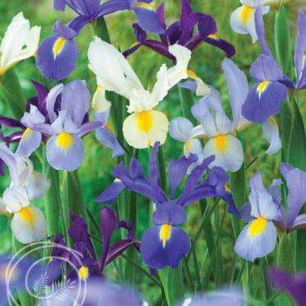 image of dutch iris mix flowers