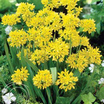 image of golden garlic allium moly flowers