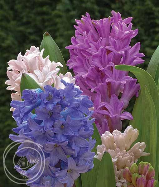 image of hyacinth mix flowers