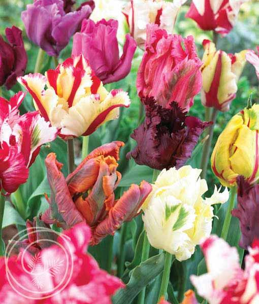 image of parrot tulip mix