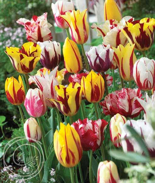 image of rembrandt tulip mix