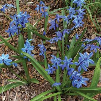 image of siberian squill flowers