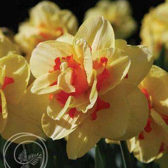 image of tahiti daffodil