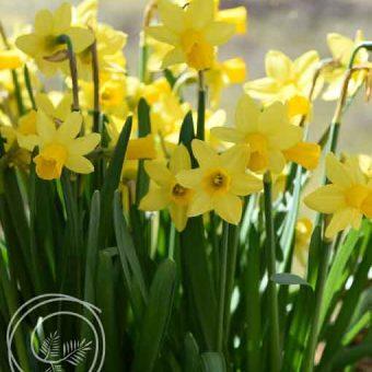 tete a tete daffodil flowers